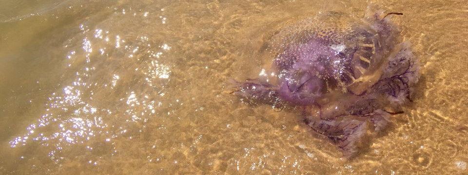 Медузы на острове Фукуок, Вьетнам